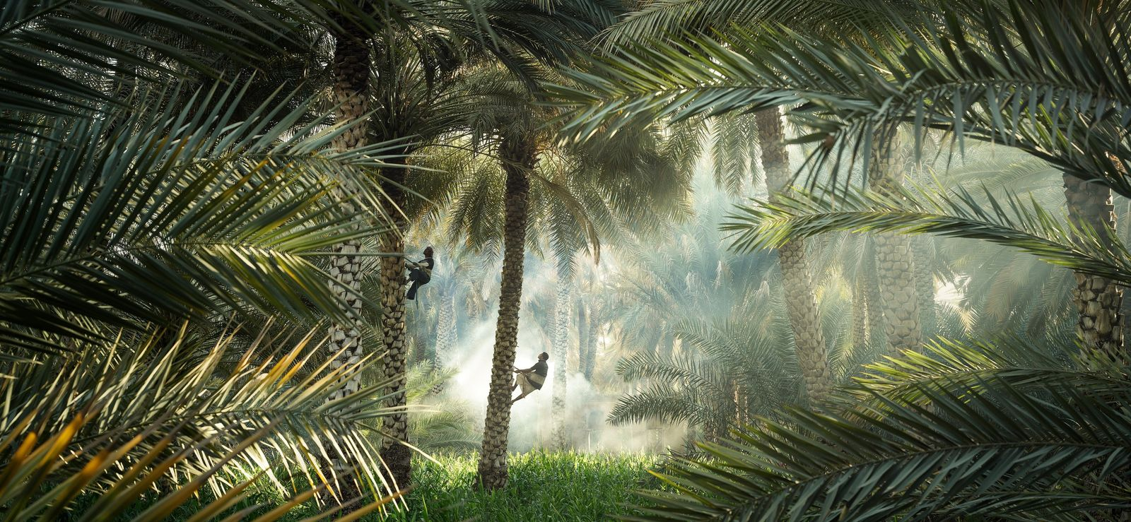 Birkat Al Mawz, Oman, 2019 - Pieds nus à même l'écorce, perchés en équilibre plusieurs mètres ...