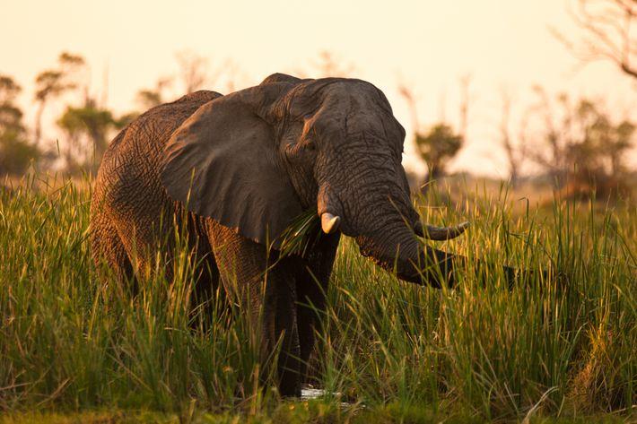 L'éléphant de savane d'Afrique (Loxodonta africana) est le plus gros animal terrestre du monde. Il mesure ...