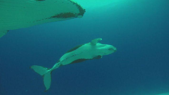 Les bébés baleines à bosses