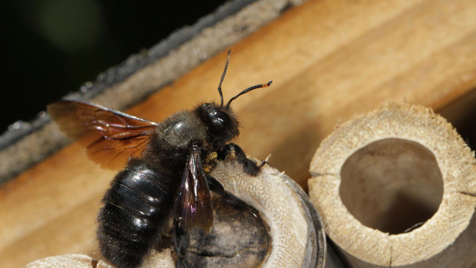 """Une abeille """"charpentière"""", nichant dans une tige creuse dans un hôtel à insectes"""
