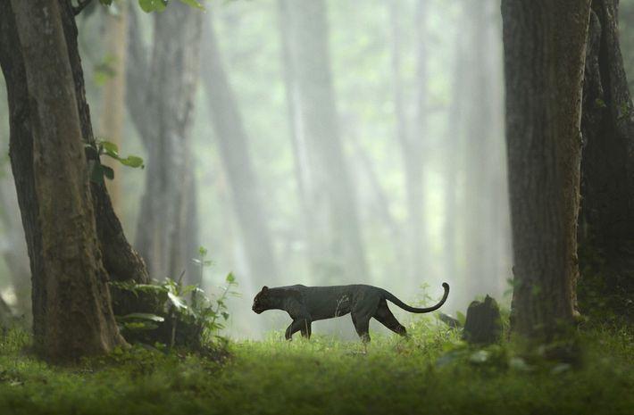 Même si sa pigmentation noire peut être vue comme un avantage pour des séances de chasse ...