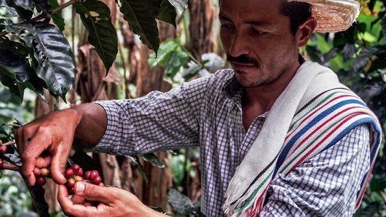 Caféiculteur dans le département de Caquetá, Don Fernando a continué à cultiver du café dans une ...