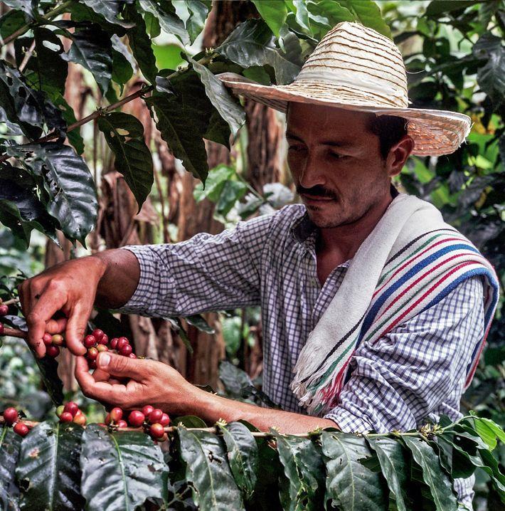 Le retour du café dans le Caquetá