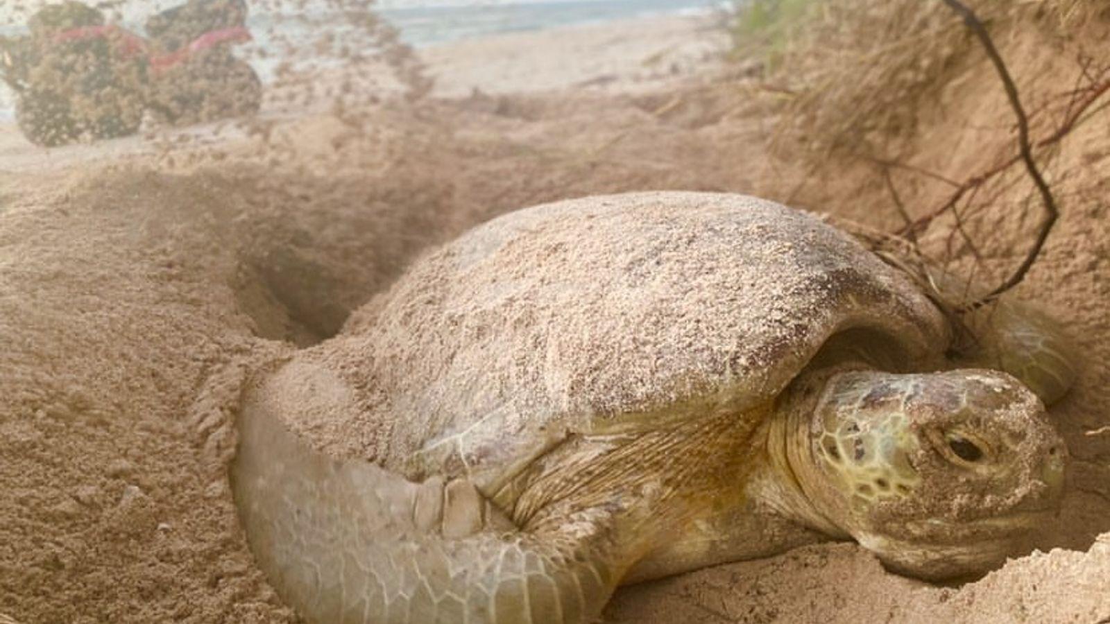 En Floride, une tortue verte recouvre de sable les œufs qu'elle vient de pondre. Des chercheurs ...