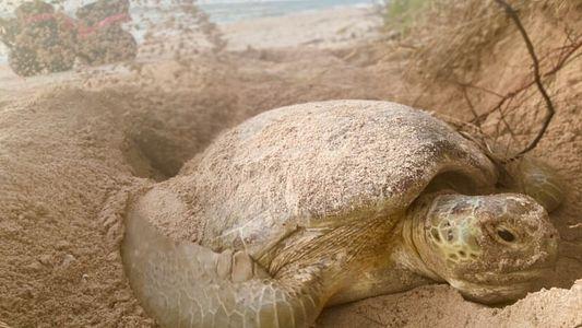 La Floride s'attend à un baby-boom de tortues marines