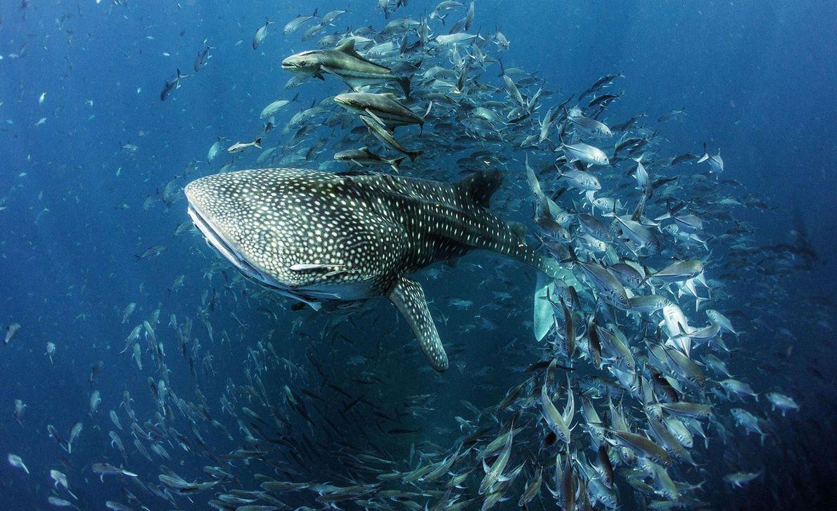 « Ce jeune requin-baleine était en train de nager dans le Golfe de Thaïlande à Sail ...
