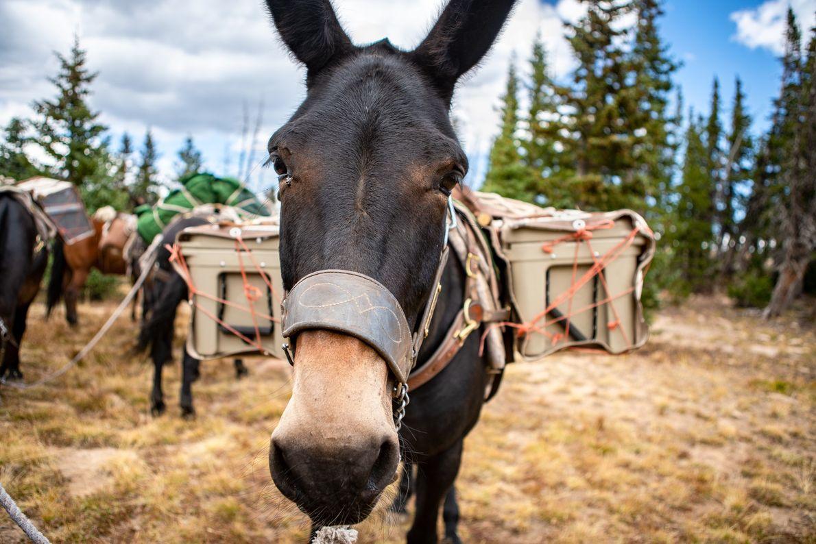 Karla le mulet s'apprête à transporter des glacières isothermes d'un camp à un autre lors d'une ...