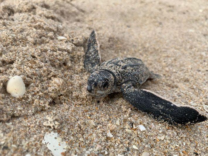 En Floride, cette tortue luth juvénile découvre le monde pour la première fois. Les œufs des ...