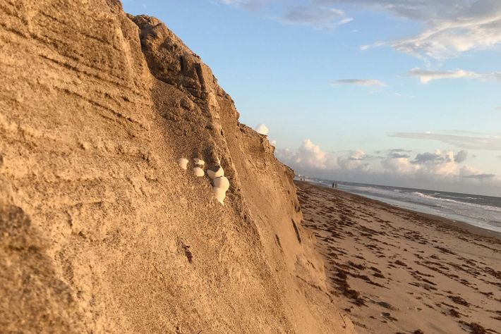 L'érosion des côtes causée par les ouragans et les vents violents peut nuire aux nids de ...