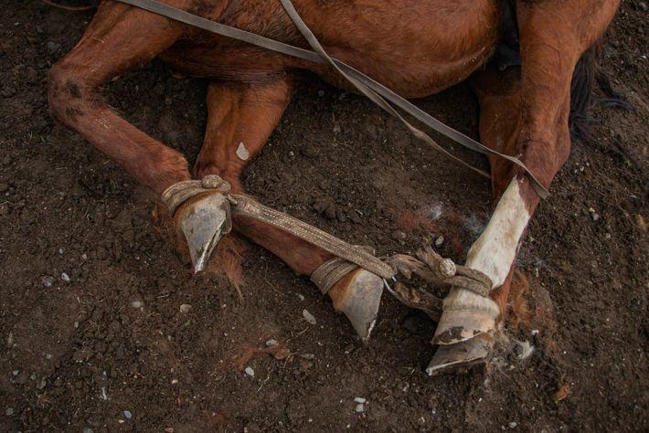 Baqueanos - Hobbled pony
