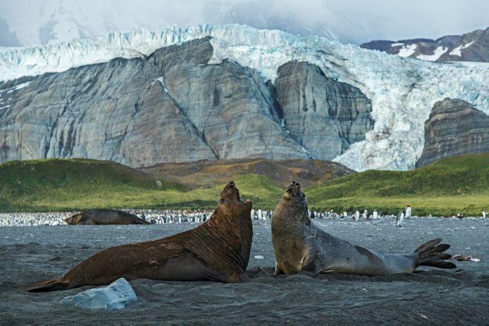 Les éléphants de mer peuvent mesurer jusqu'à 6 m de long et peser près de 4 tonnes. D'après ...