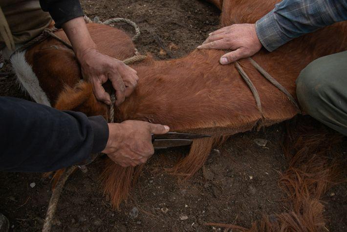 Baqueanos - Pony haircut
