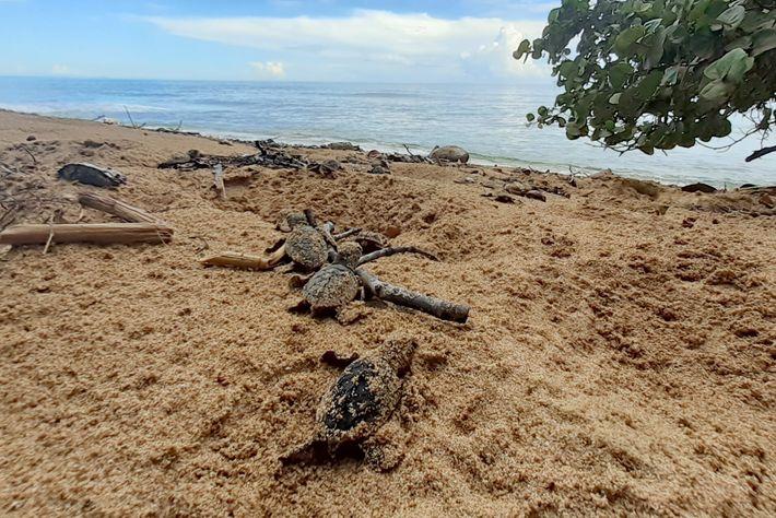 Au Panama, des tortues imbriquées juvéniles tout juste sorties de leur coquille se frayent un chemin ...