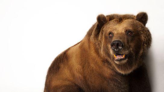 01-alaska-refuge-grizzly-bear