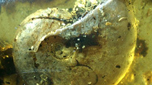 Paléontologie : un mollusque marin retrouvé fossilisé dans l'ambre