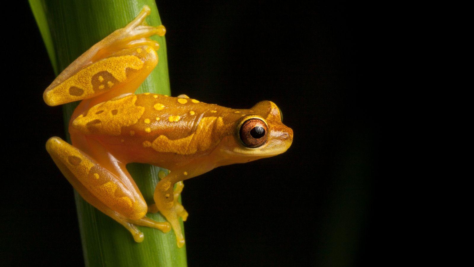 Les données relatives au recensement de plusieurs espèces d'amphibiens, comme le Dendropsophus ebraccatus, observé ici au ...
