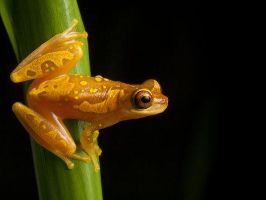 « Apocalypse des amphibiens » : les scientifiques recherchent toujours le coupable