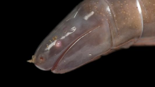 Ces drôles d'amphibiens auraient une salive venimeuse