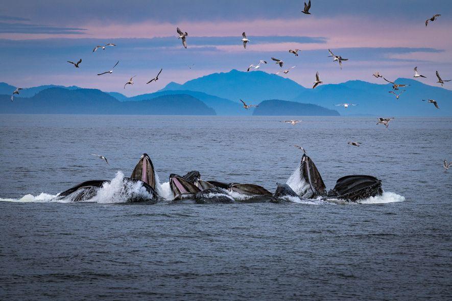 Les baleines à bosses produisent des filets de bulles au large de l'Alaska où ce comportement ...