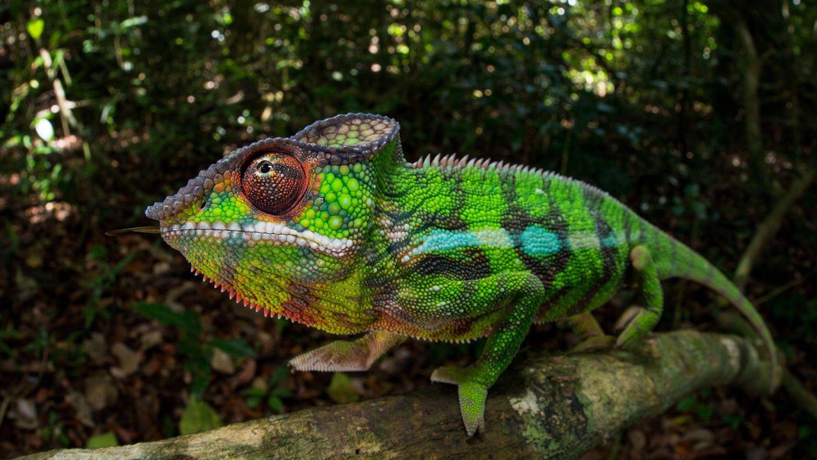 Natif de Madagascar, le caméléon panthère peut prendre toutes les couleurs de l'arc-en-ciel.