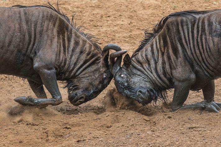 Deux gnous bloquent leurs cornes lors d'un affrontement.