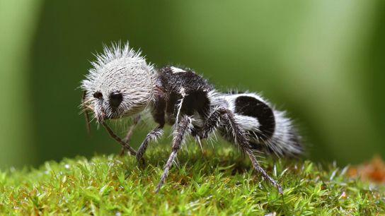 La fourmi panda n'est ni un panda, ni une fourmi : c'est une guêpe sans ailes ...