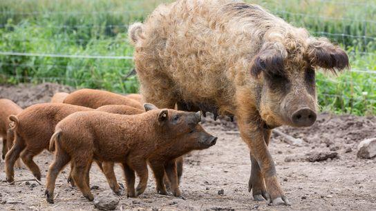 Des porcelets mangalitzas, également connus sous le nom de porc laineux, se pressent derrière leur mère ...