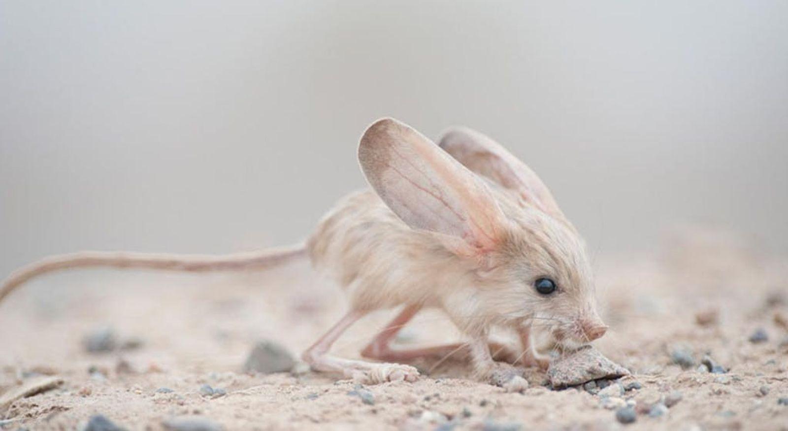 La gerboise aux longues oreilles, que l'on peut apercevoir dans le désert de Gobi en Mongolie, ...