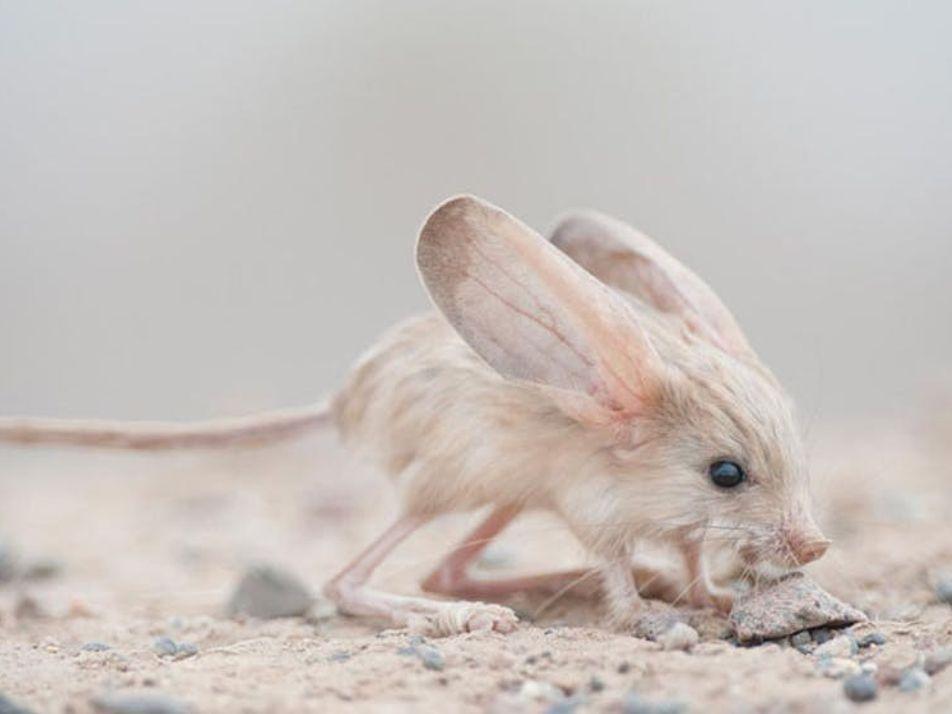 Cet animal a les plus grandes oreilles du monde (pour sa taille)
