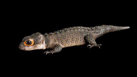 Les scinques crocodiles sont devenus des animaux de compagnie populaires, mais personne ne sait combien de ...