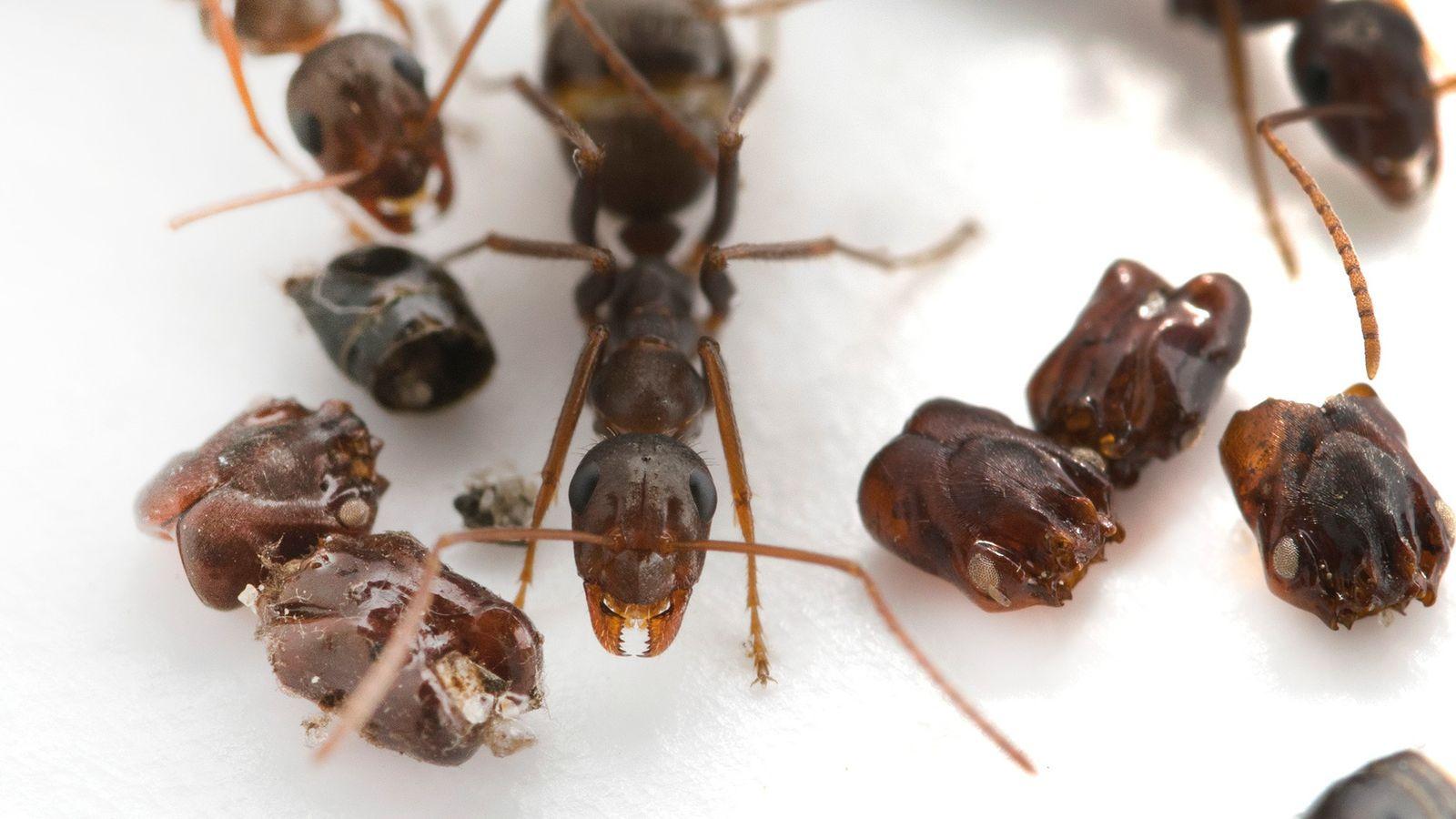 Cette fourmi native de Floride (Formica archboldi) collectionne les crânes de ses ennemis, et les scientifiques ...
