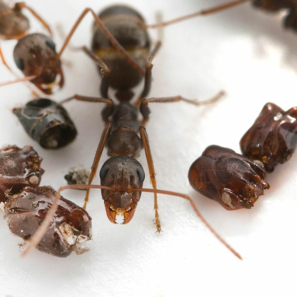 La fourmi Dracula peut mordre 5 000 fois plus vite qu'un battement de cils