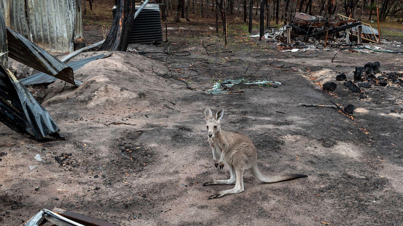 Un Macropus giganteus rescapé des incendies qui ont ravagé la ville de Goongerah dans l'État de ...
