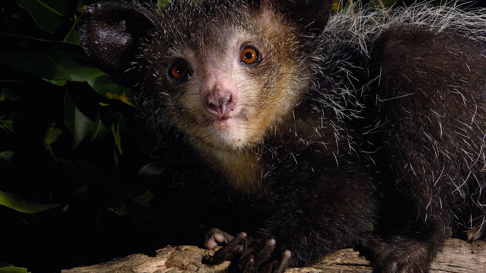 L'aye-aye est un condensé de caractéristiques singulières, il a de grandes oreilles, une queue hirsute, des ...