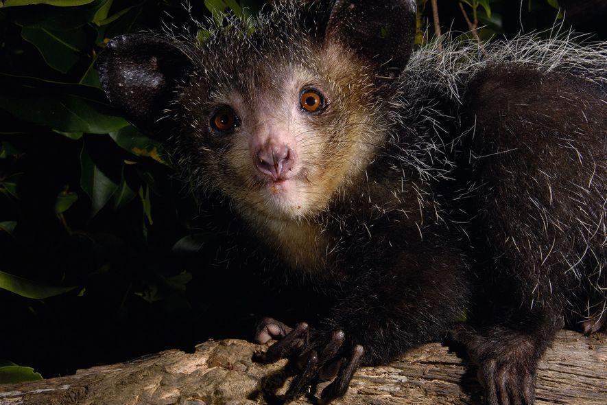 Découverte : ce curieux lémurien a un sixième doigt caché