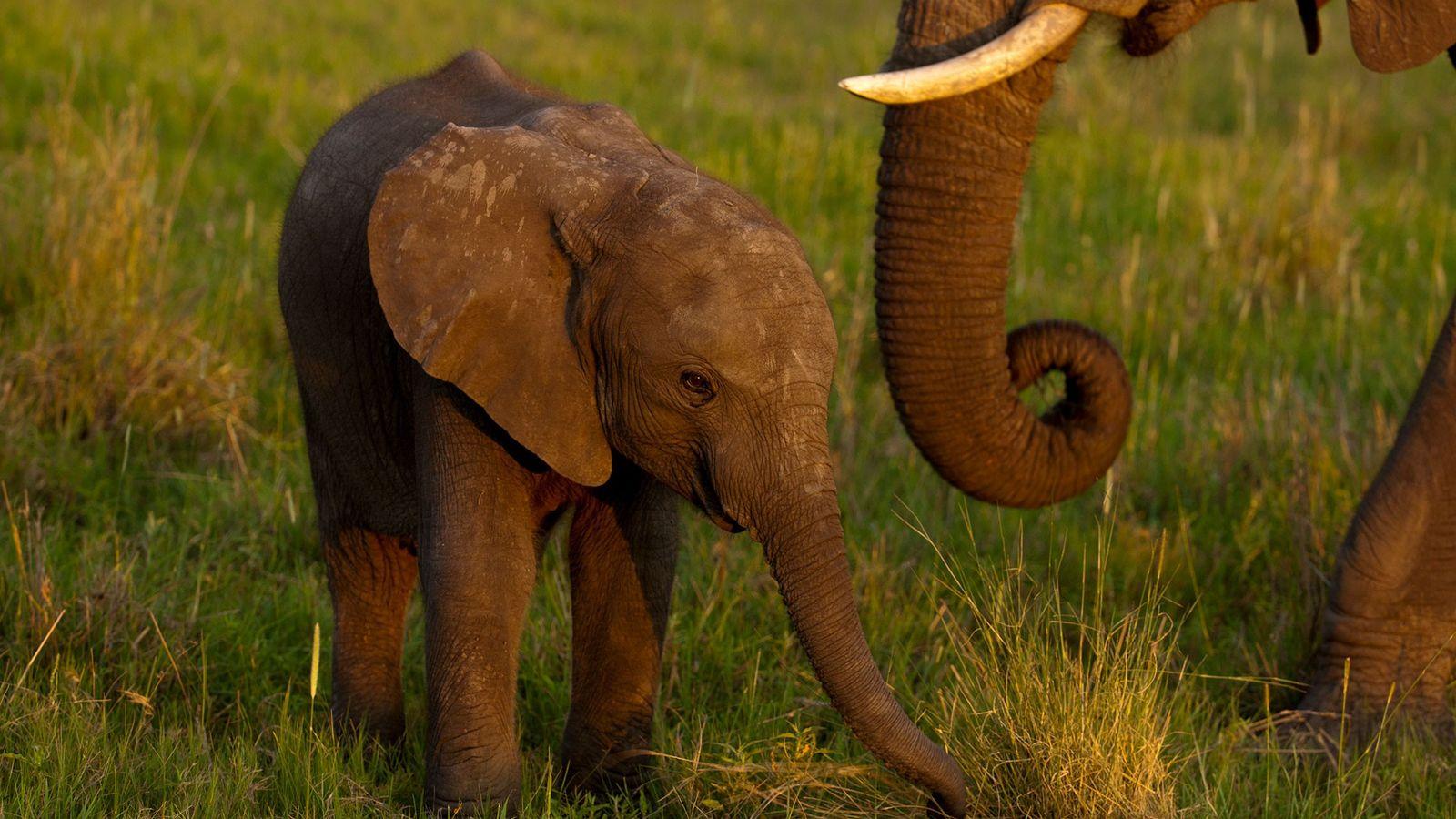 Pour résoudre ce que les autorités déclarent être un problème de surpopulation d'éléphants et compenser le ...