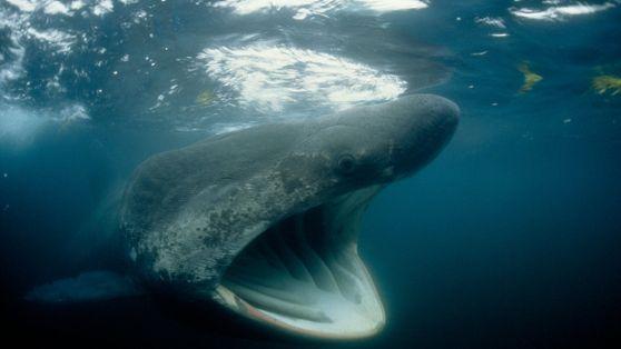 Des rassemblements de requins pèlerins surprennent les scientifiques