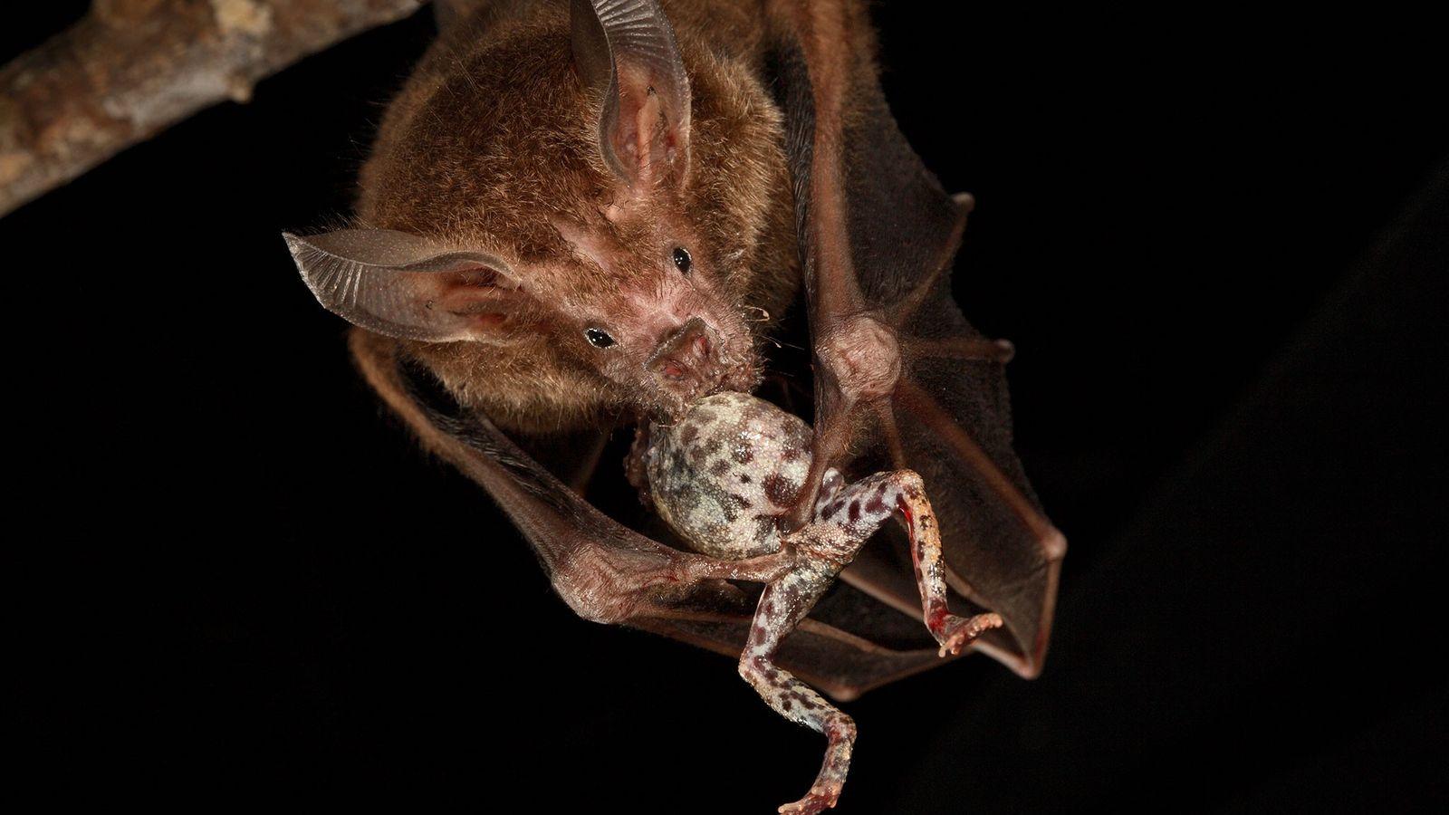 Une phyllostome à lèvres frangées dévore une grenouille túngara sur l'île Barro Colorado au Panama.