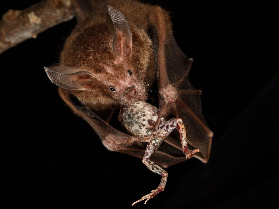 Cette chauve souris écholocalise les chants des grenouilles pour se nourrir