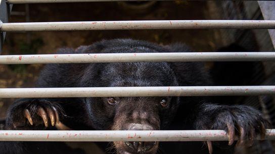Dans les exploitations ursicoles de Chine et d'Asie du Sud-Est, la bile utilisée par la médecine ...