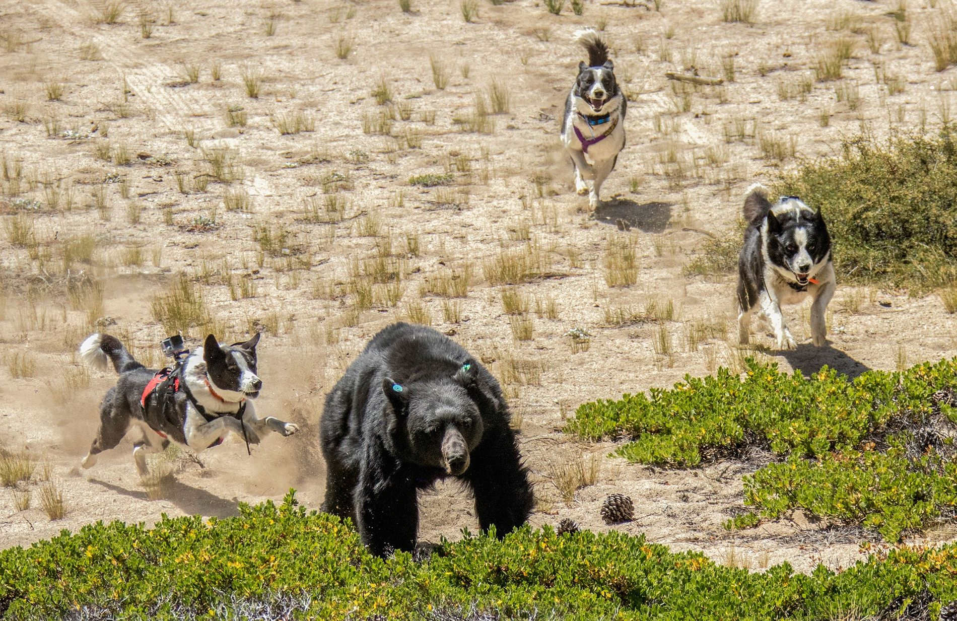 De gauche à droite, Orca, Dazzle et Rooster, les chiens d'ours du Service de la faune ...