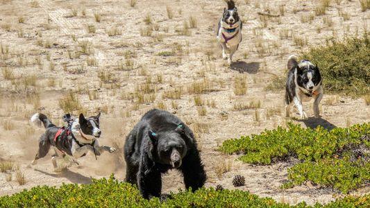 Ces chiens effraient les ours… pour les protéger