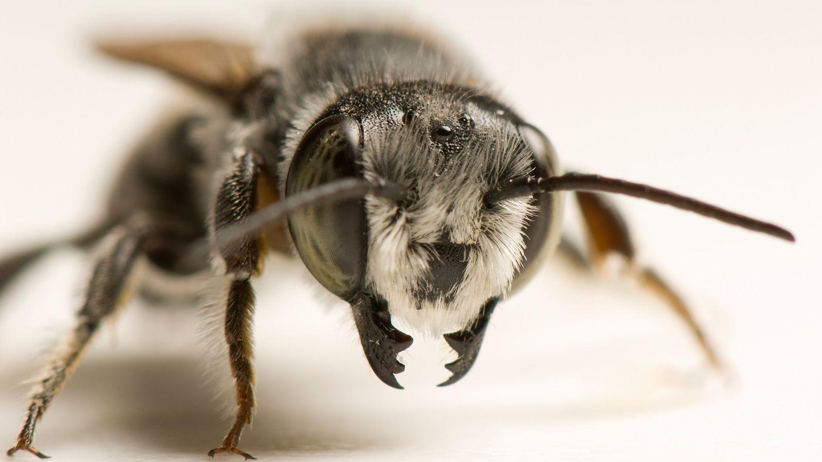 Portrait d'une abeille coupeuse de feuille. Selon toute vraisemblance, ce serait cette espèce qui utilise du ...