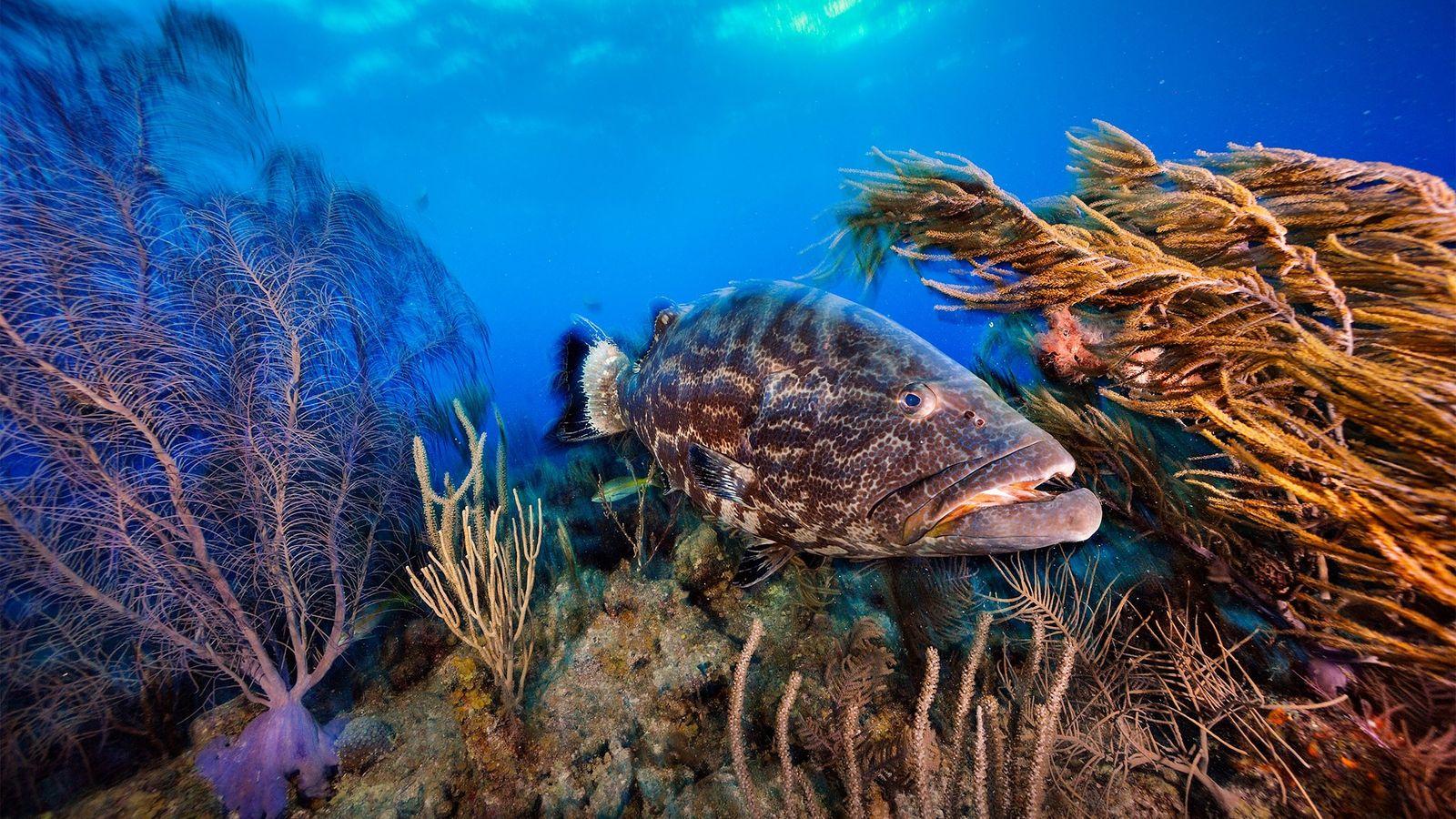 Au Belize, un mérou noir patrouille dans un récif corallien. Le pays adopte de nouvelles mesures ...