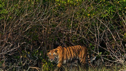 Au Bangladesh, les tigres du Bengale sont la cible des pirates