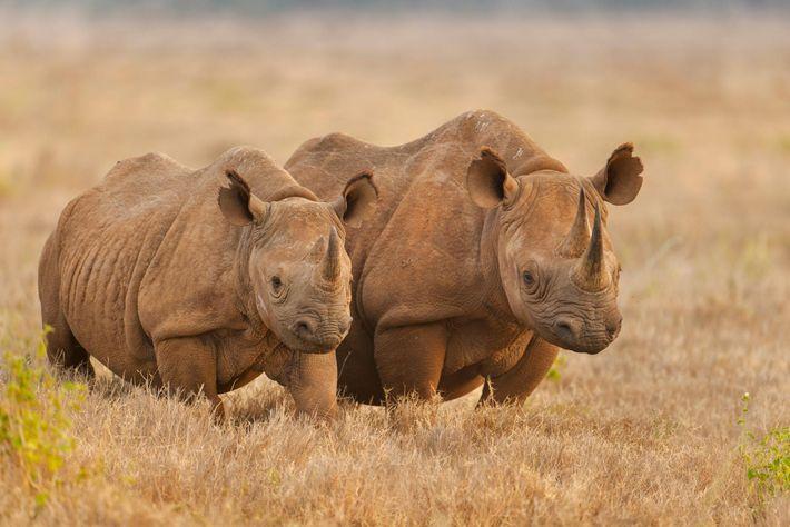 Deux rhinocéros noirs prennent la pose au beau milieu de la savane d'une réserve naturelle au ...