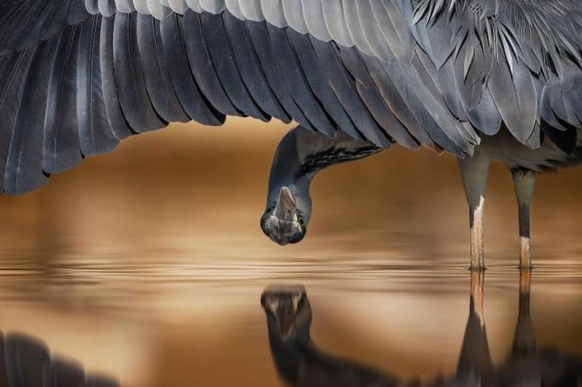 Cette photo d'un héron cendré (Ardea cinerea) a remporté le second prix du concours dans la ...