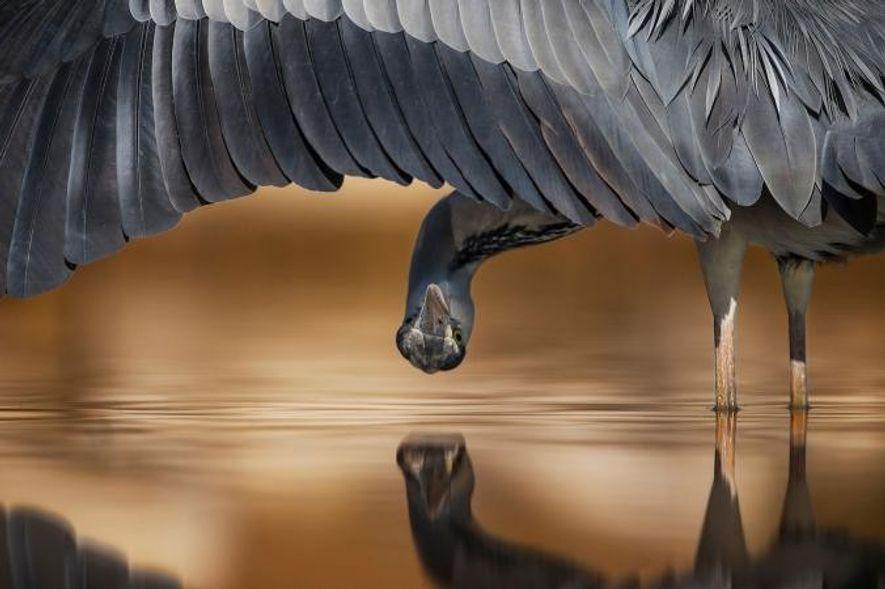 Cette photo d'un héron cendré (Ardea cinerea) a remporté le second prix du concours dans la …