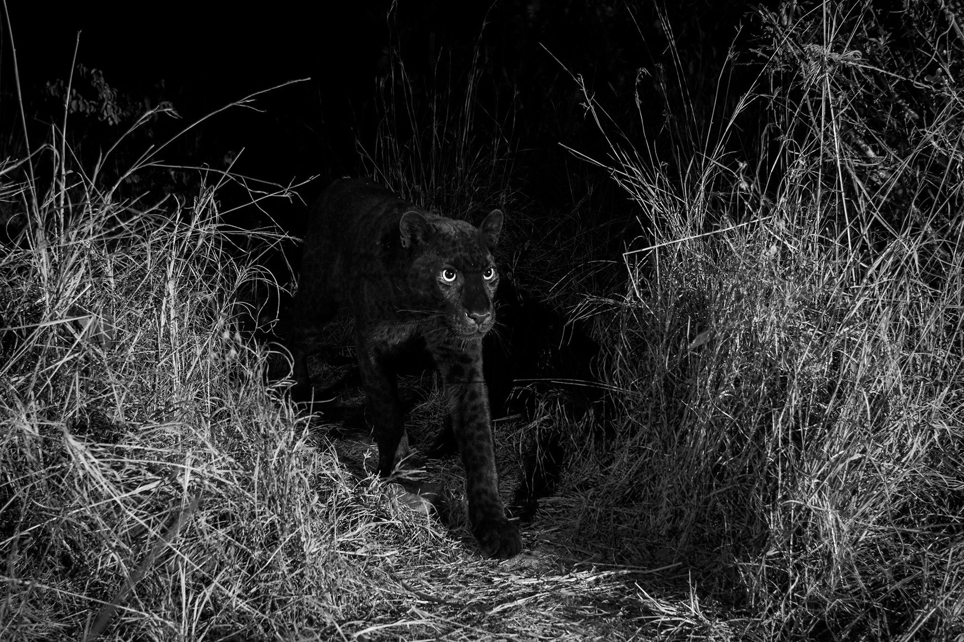 Un léopard noir très rare traverse le camp de Laikipia Wilderness dans le centre du Kenya, ...