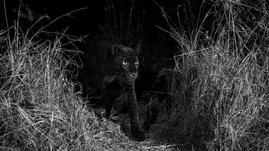 Un léopard noir a été vu au Kenya pour la première fois en 100 ans